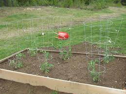 raised bed garden with tomato plants