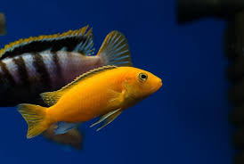 The Ultimate African Cichlid Guide Types Tanks Care And