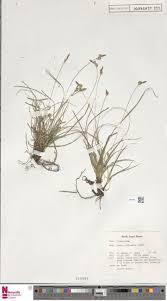 Carex olbiensis Jord.