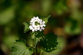 mustard garlic alliaria petiolata broad heart shaped or kidney shaped leaves co rounded teeth petite flowers onion or garlic odour and slender pods