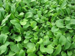 in my kitchen garden lettuce and arugula in the garden with step by step photos showing how to grow arugula from seed in less than a month