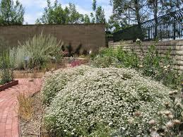 plant of the month june california buckwheat eriogonum fasciculatum