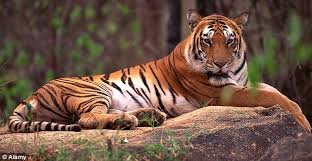 Image result for tigers in the wild