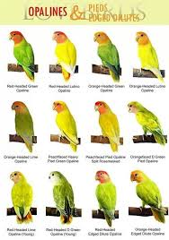 Lovebird Color Mutations Chart Breeding Black Masked Lovebird Genetics Google Search