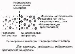 Реферат Осмос осмотическое давление и его биологическая роль  Осмос осмотическое давление и его биологическая роль