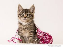 cats and kittens pictures. Interesting Kittens Adoption_CatsKittens Victor192047andMictor In Cats And Kittens Pictures O
