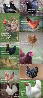 Poultry Nutrition Modern Farming Methods Dog Breeds Picture