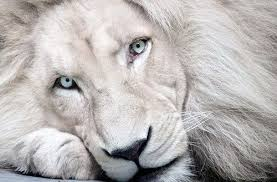 baby white lion with blue eyes. White Lion With Baby Blue Eyes Staring At The Camera And