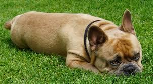 Tại sao chó ăn cỏ?