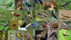 Salah satunya adalah burung kedasih atau biasa disebut emprit gantil oleh masyarakat jawa yang kerap dijuluki sebagai burung pencabut nyawa. Mengenal Jenis Burung Emprit Dan Trik Melatih Supaya Gacor