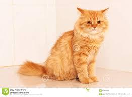 orange persian cat.  Orange Cute Orange Persian Cat Intended Orange Persian Cat
