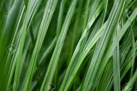 Close Up Background Of Green Grass Blades Stock Photo Picture And