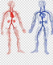 Two Human Veins Chart Arteries And Veins Artery Circulatory