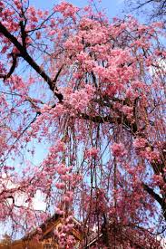638 best images about Arbres en fleur on Pinterest