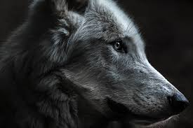 wolf face black and white.  White Zoom With Wolf Face Black And White O