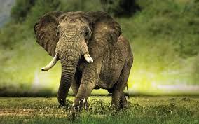 75+] African Elephant Wallpaper on ...