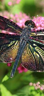 Dragonfly, pink flowers, insect ...
