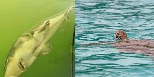 Paddler und angler haben am göttinger kiessee in niedersachsen einen knapp 1,50 meter großen wels an land gezogen, der sich an einer schildkröte verschluckt hat. Mobpspg59wvqgm