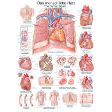 Cardiac Anatomy Chart