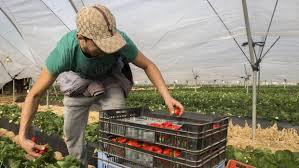Falta mano de obra en Huelva para recoger fresas y frutos rojos