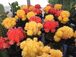 Grafted Cactus Neon Cacti Moon Cactus Hibotan Cactus
