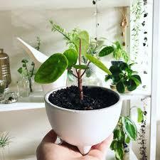 Not Enough Light For Plants Pilea Growing Well Plants Garden Planter Pots