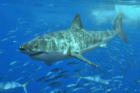 dna barcoding helps identify endangered species from market  white shark and friends great white sharks are classified as vulnerable by iucn meaning