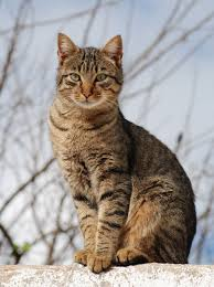 Tabby Patterns Magnificent Tabby Cat Wikipedia