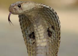 cobra head profile. Exellent Head Indian Spectacled Cobra Image Credit Wikipedia In Cobra Head Profile