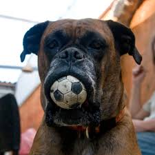Bullmastiff Growth Chart The Bullmastiff Diet What Foods To Feed And What To Avoid