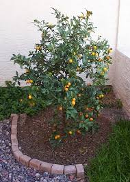 28 Best Fruit Trees Here In AZ Images On Pinterest  Fruit Trees Az Fruit Trees