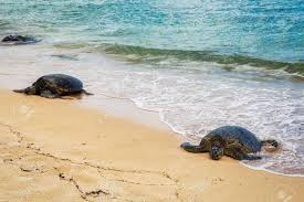 Close View Of Sea Turtles Resting On Laniakea Beach On A Sunny