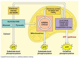 Image Result For Figures Showing Where Glycolysis Krebs