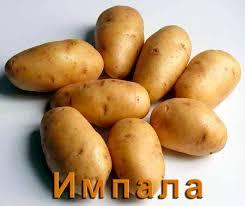 Сорта картофеля описание и фото ru Картофель Импала