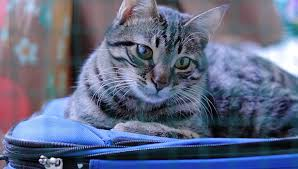 boarding cats while on vacation. Modren Boarding Tabby Cat Laying On Top Of Closed Blue Suitcase Throughout Boarding Cats While On Vacation A