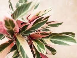 Maranta tricolor ou calathea triostar. Calathea Triostar Como Cuidar Dessa Planta De Folhagem Verde E Rosa