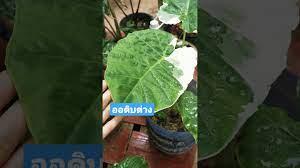 ไม้ด่าง ผักสวนครัวด่าง คูนด่าง ทูนด่าง ออดิบด่าง Colocasia gigante  Hook. f. Variegated - YouTube