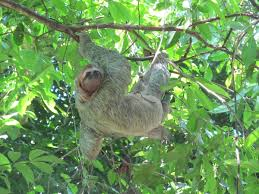 manuel antonio wildlife national park manuel antonio wildlife three toed sloth