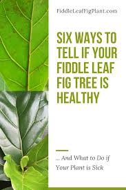 view larger image six ways to tell if your fiddle leaf fig tree is healthy brown spots