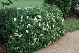 gardenia radicans a perfect solution for an attractive scented ground cover