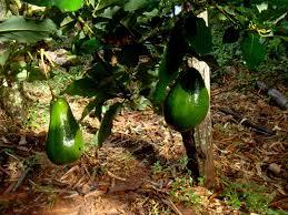 Resultado de imagem para abacates