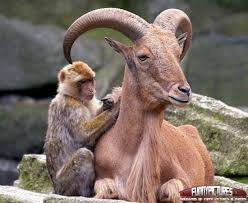 monkey with giant goat funny image for facebook
