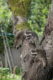 Baby Raccoon Age Chart Raccoon Breeding In Mercer Ocean Monmouth Middlesex