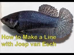 Betta Genetics Chart Betta Selective Breeding With Joep Van Esch How To Make A Line