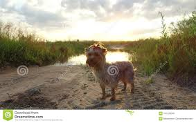 Video By The Lake Yorkshire Terrier Pet Dog At Sunset By The Lake In The
