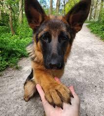 Kinh nghiệm Chọn Chó Becgie Đẹp - Cách Chọn Chó Becgie Thông Minh - Thú cảnh