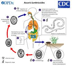 Ascariasis Roundworms Cdc Ascariasis Biology