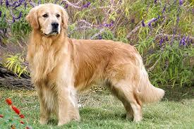 English Golden Retriever Weight Chart Golden Retriever Dog Breed Information