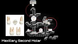 Maxillary Second Molar Maxillary Second Molar By Lee Costa On Prezi