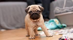 newborn pug puppies. Simple Pug In Newborn Pug Puppies